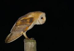 Coruja-das-torres / Lechuza común / Barn Owl (António Guerra) Tags: corujadastorres lechuzacomún barnowl tytoalba coth5
