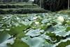 Lotus Pond 1 (motohakone) Tags: china old slide digitized 1980 wuhan 武汉市 hubei 中国