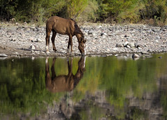 To Each His Own (vgphotoz) Tags: vgphotoz arizona wildhorses saltriver horse nature usa reflections meditate