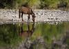 To Each His Own (vgphotoz) Tags: vgphotoz arizona wildhorses saltriver horse nature usa reflections meditate