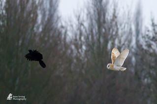 Barn owl chasing off a crow