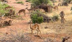 Safari-Tsavo National Park-Kenya (20) (johnfranky_t) Tags: gazzelle johnfranky t kenia kenya africa tsavo national park savana cespugli bush verde