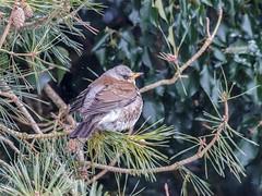 Fieldfare in the garden (ArtFrames) Tags: thrushes fieldfare redwing berries ivy snow influx birds uk northamptonshire gardenbirds