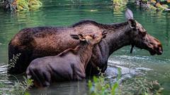 Moose family (Yuliksroas) Tags: moose alberta lake maligne family animals animal canada 150 rockies rocky mountains national park jasper summer 2017