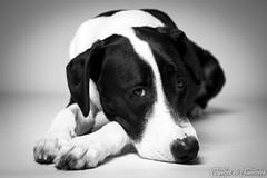 Papa.. Fait moi une caresse ! (capteur de souvenirs) Tags: staff labrador dog chien studiophoto bw bnw blackandwhite noiretblanc nb