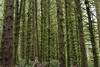 Mossy trees en masse (rozoneill) Tags: cape mountain berry creek siuslaw national forest hiking oregon florence princess tasha scurvy ridge trail nelson coastal