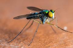Metallic and Skitterish - _TNY_3768 (Calle Söderberg) Tags: macro canon canon5dmkii canonef100mmf28usmmacro canoneos5dmarkii raynox dcr250 flash meike mk300 glassdiffusor vietnam phuquoc mercuryphuquocvillasresorts insect fly fluga dolichopodidae condylostylus styltfluga metallic green longlegs sciapodinae f16 5d2