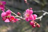 Japanese apricot (Prunus mume, 梅) blossoms (Greg Peterson in Japan) Tags: flowers japan 滋賀県 花 野洲市 植物 shiga yasu plumblossoms smallobjects plants 梅 shigaprefecture