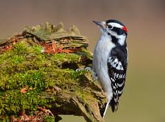 Downy Woodpecker (Jamie Lenh Photography) Tags: nature wildlife birds downywoodpecker nikond7100 tamron150600