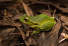 The leaf green tree frog (Litoria phyllochroa) (peter soltys) Tags: peter soltys photography wildlife adventure australia theleafgreen tree frog litoria phyllochroa amphibia