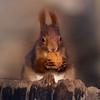Great find ! (FocusPocus Photography) Tags: eichhörnchen squirrel sciurusvulgaris tier animal wildtier wildlife walnuss walnut monrepos ludwigsburg