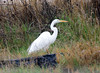 Egret in grass (kkdemien) Tags: egrets
