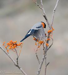 camachuelo (barragan1941) Tags: aves camachuelomacho cremenes2018 fauna pajaros