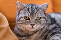 A9902226_s (AndiP66) Tags: whisky katzen cats indoor drinnen sony alpha sonyalpha 99markii 99ii 99m2 a99ii ilca99m2 slta99ii sigma sigma105mmf28exdgoshsm sigma105mm f28 amount andreaspeters