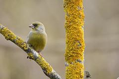Chloris chloris (nonnogrizzly) Tags: chlorischloris verdone uccello aves fauna animale natura albero bosco