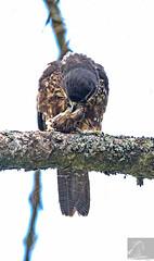 Kārearea 146 (Black Stallion Photography) Tags: adult female newzealand falcon karearea bird prey wildlife perch branch meal lichen brown feathers feet talons black stallion photography igallopfree