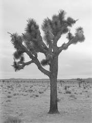 Overlord (baro-nite) Tags: joshuatree yucca brevifolia mojave desert mediumformat bw film ilford fp4 ddx pentax 645n smcpentaxfa64512875mm epsonv700 affinityphoto