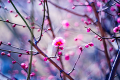 Blossoming (moaan) Tags: kobe hyogo japan ume umeblossom umetree lookingforthesun sunlight cold chill outdoor dof depthoffield bokeh bokehphotography leica leicamp type240 summicron50mmf20dr leicasummicron50mmf20dr 50mm f20 itata 2018