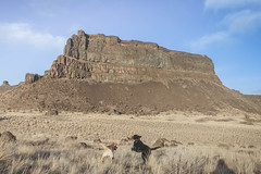 Desert dogs in Monument Coulee (johnwporter) Tags: hiking scramble mountains easternwashington washington desert centralwashington sunlakesdryfallsstatepark statepark coulee umatillarock 徒步 爬行 山 華盛頓東部 華盛頓州 荒漠 華盛頓中部 太陽湖乾瀑布州立公園 州立公園 豐碑深谷 深谷 尤馬蒂拉岩 labrador yellowlab 拉布拉多 黑拉不拉多 黃拉不拉多 monumentcoulee blacklab