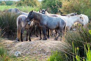 horses in the countryside Majorca