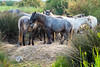 horses in the countryside Majorca (BarrySmith1950) Tags: horses majorca countryside grass lightroom