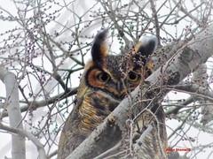 Great Horned Owl (Anton Shomali - Thank you for over 1 million views) Tags: bigwings wings nose ears head eyes bigbird big bird branches branch trees tree nature outdoor outside great horned owl greathornedowl