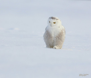 Harfang des neiges -Snowy owl
