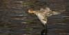 Northern Pintail (F) (Melissa M McCarthy) Tags: northernpintail pintail duck bird waterfowl waterbird birdinflight bif flying animal wildlife nature outdoor action neutral stjohns newfoundland canada canon7dmarkii canon100400isii hen female