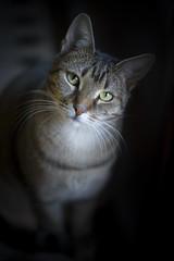 Minja (Katarina Drezga) Tags: cats cat catphotography petphotography pets domesticcat feline felines nikond750 tamron70200vcg2
