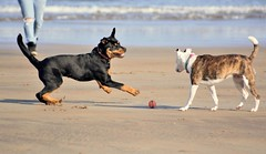 Playtime...xx (shona.2) Tags: rottweiler scotland sea sand beach pet dog playing puppies supply