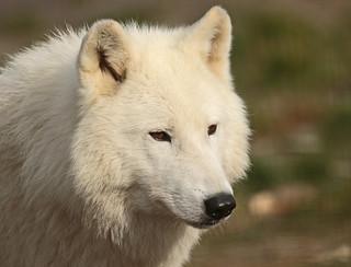Hudsonbay wolf Hoenderdaell BB2A4440