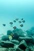 Pennant Butterfly, Bluestripe Butterfly at 80 ft (katefu82) Tags: kauai southshore koloalanding koloa diving scuba hawaii sheraton caverns sea turtle dpv tusa barracuda
