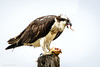 Osprey at Breakfast (halladaybill) Tags: backbaysciencecenter osprey uppernewportbay raptor orangecounty california newportbayconservancy nikond850 nikkor200500zoom seaandsageaudubonsociety auduboncalifornia cornelllabofornithology
