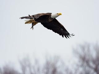 Eagle, Fish
