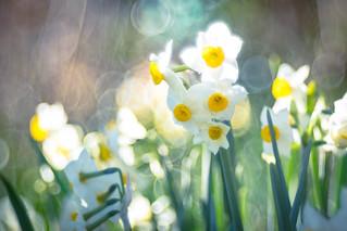 narcissus / 水仙の花