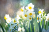 narcissus / 水仙の花 (Hideo N) Tags: narcissus 水仙 trioplan fujifilmxt1 すいせん 花 nature xt1 fantasticflower