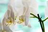 Orchids (Szhlopp) Tags: orchids flower flora indoor beautiful white blue dog bokeh canon eos 70d 100m colorful colours plants happy digital home plant pretty 7dwf macromonday macromondays macro