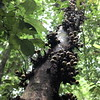 some kinda wild figs ([TheAsarya]) Tags: malaysia sarawak kubahnationalpark figs borneo