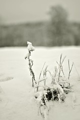 Winter grass (Stefano Rugolo) Tags: stefanorugolo pentax k5 pentaxk5 smcpentaxm50mmf17 ricohimaging winter grass snow focus depthoffield bokeh landscape hälsingland sweden sverige monochrome minimal field tree