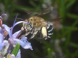 Banded bee P1033429