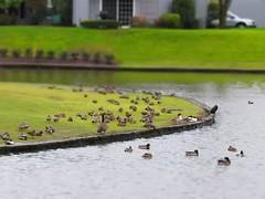 Busy Backyard (shesnuckinfuts) Tags: waterfowl backyard kentwa shesnuckinfuts january2018 nature wildlife pond birds ducks cormornats mergansers geese crows movie miniature timelapse video
