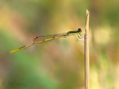 Damselfly (veltrahez) Tags: miami florida unitedstates us macro ngc life nature closeup olympus zuiko 60mm