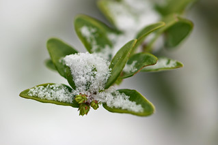Boxtree branch in the snow