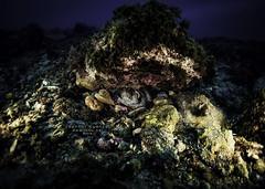 JK184611 (Jeannot Kuenzel) Tags: jeannot kuenzel jk4u malta scuba under water underwater diving photography macro supermacro olympus em1mk2 em1mkii zen port leica dg macroelmarit 45mm f28 asph ois inon z240 240z ucl165 s2000 moods aliensofthesea aliensofthedeepblue alien deep blue mediterranean sea best pictures super world creature extreme octopus wwwjk4unet