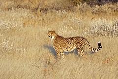 Cheetah (aivar.mikko) Tags: cheetah cheetahs acinonyxjubatus acinonyx jubatus bigcat bigcats big cat cats spitzkoppe etosha wildlife animals animal namibia namibian southafrica southafrican south africa african grass grassland field