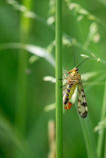 Scorpionfly | Skorpionsfliege (Panorpidae)