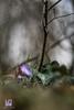 Epatica (Lace1952) Tags: fiori fioriture epatica anemoneepatica epaticanobilis primavera primizie sottobosco sfocato bokek panasonicg microquattroterzi orestonmeyer50mmf1e8 ossola vco piemonte italia