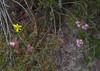 Verticordia pennigera [right], V. huegelii var huegelii and Tricoryne elatior, Brixton St Nature Reserve, Kenwick Wetlands, Perth, WA, 24/11/17 (Russell Cumming) Tags: plant verticordia verticordiapennigera verticordiahuegelii verticordiahuegeliihuegelii myrtaceae tricoryne tricoryneelatior asparagaceae brixtonstnaturereserve kenwickwetlands perth westernaustralia