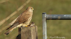 Female Kestrel with vole bruch (jo.angell) Tags: kestrel birds prey wild wildlife nature buckinghamshire vole