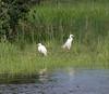 DSC_0503 (H Sinica) Tags: 贊比亞 zambia zimbabwe 津巴布韋 zambeziriver 贊比西河 greanegret largeegret 大白鹭 commonegret